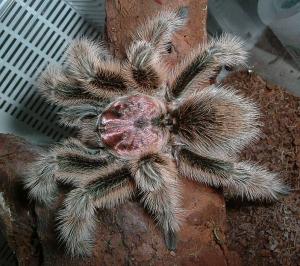 Rose Tarantula